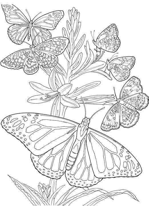 Coloriage adulte papillon
